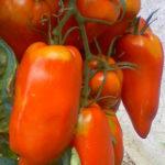Tomate_andine_cornue-2