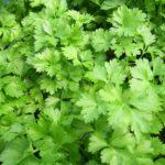 parsley-164165_960_720