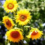 sunflowers-bouquet-sunflower-large-32700