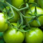 Groene-tomaten-in-de-moestuin