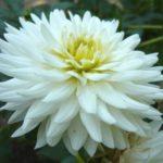 dahlia-cactus-my-love_FR_500_0018627